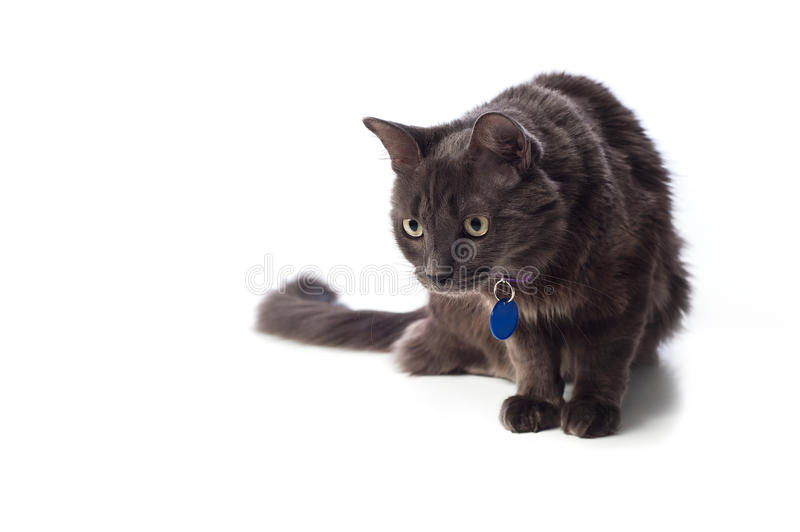 Gray Nebelung Cat Stalking image stock