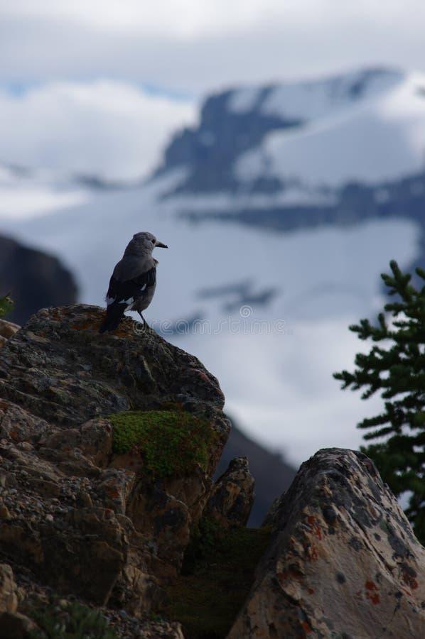 Gray Nutcracker at Banff National Park royalty free stock image