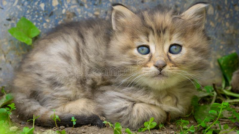 Gray and orange cute kitten body with blue eyes.  Close up tabby cat portrait. Street cat and lifestyle concept. Cat sitting and. Looking the camera royalty free stock photos