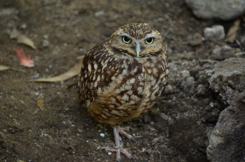 Camouflaged owl royalty free stock photography