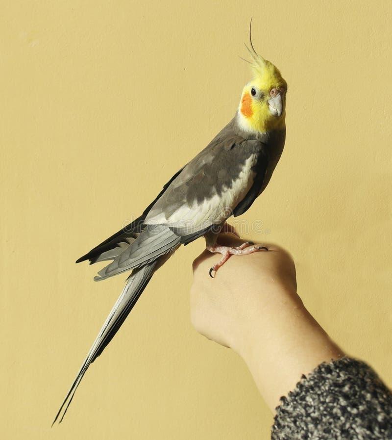 Gray parrot ockatiel, yellow head, orange cheeks royalty free stock images
