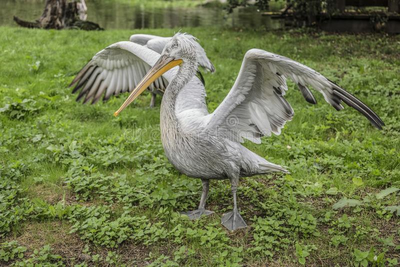 Gray pelican with clipped wings royalty free stock image
