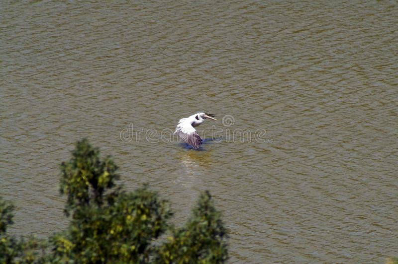 The flight of the pelican over the lake royalty free stock image