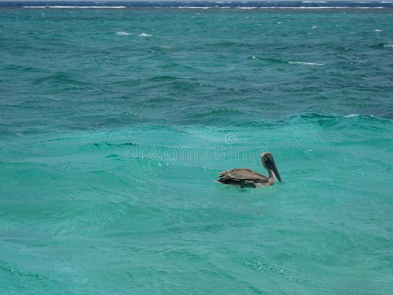 Gray pelican resting in shallow sea. In good weather stock images