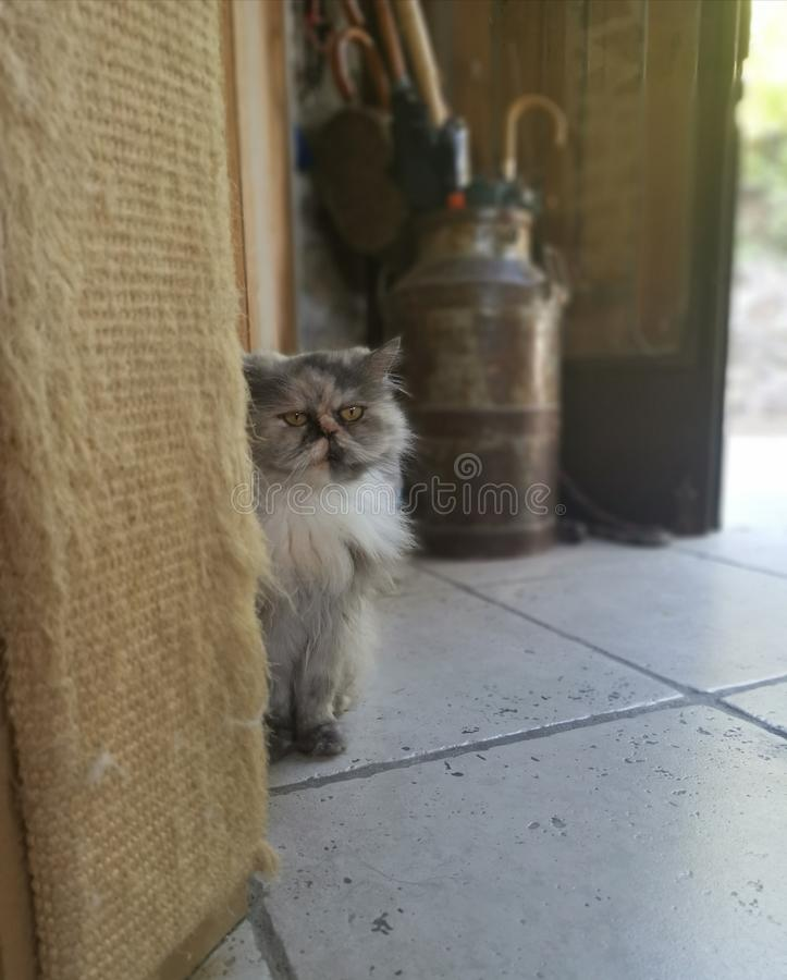Gray Persian Cat royalty-vrije stock afbeeldingen