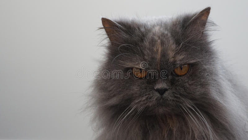 Gray Persian cat. With orange eyes stock images