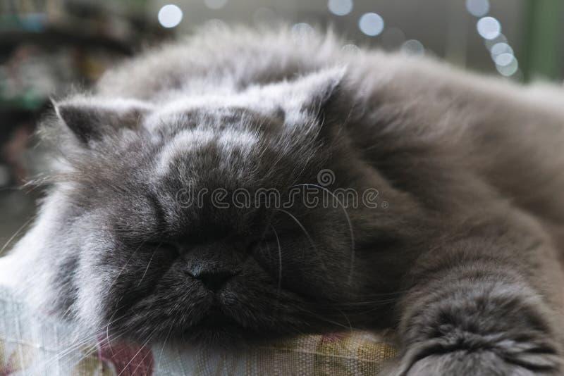 Gray persian cat sleeping on the table stock photos