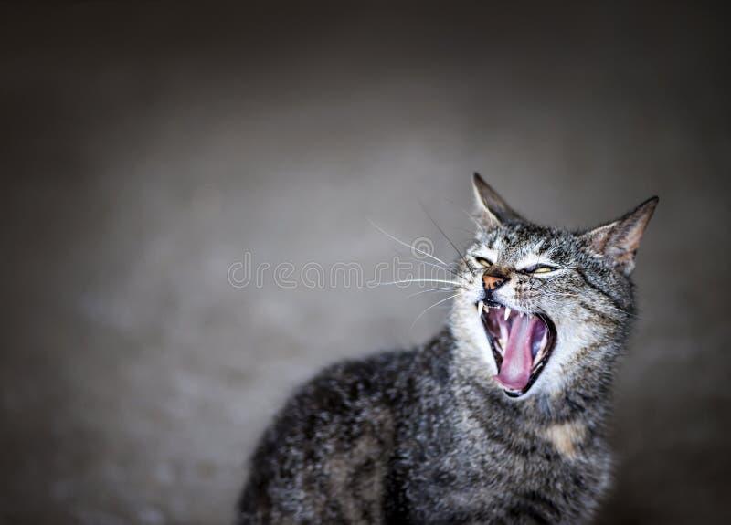 Yawning cat stock photography