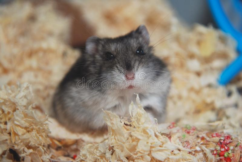 Gray Pet Hamster dans la fin en verre d'aquarium vers le haut de l'animal familier images stock