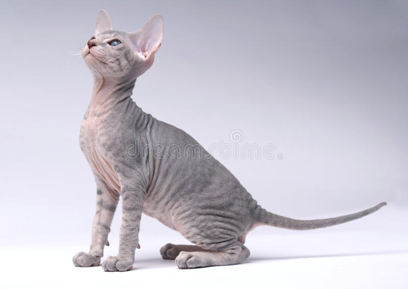 Gray Peterbald cat, Oriental Shorthair stock images