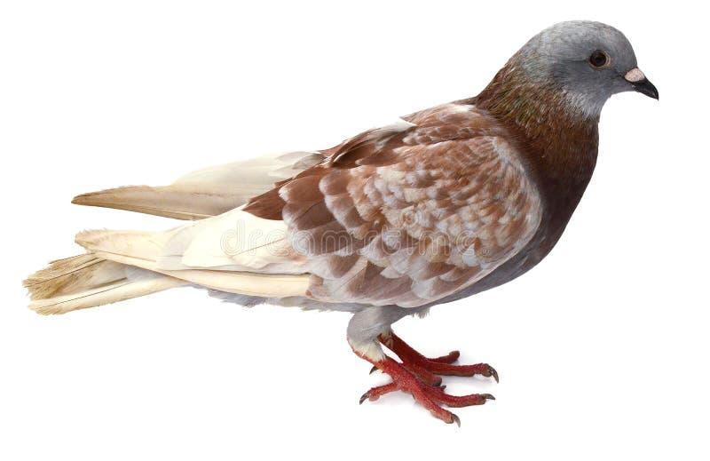 Gray Pigeon pourpre se tenant avec le chemin de coupure images stock