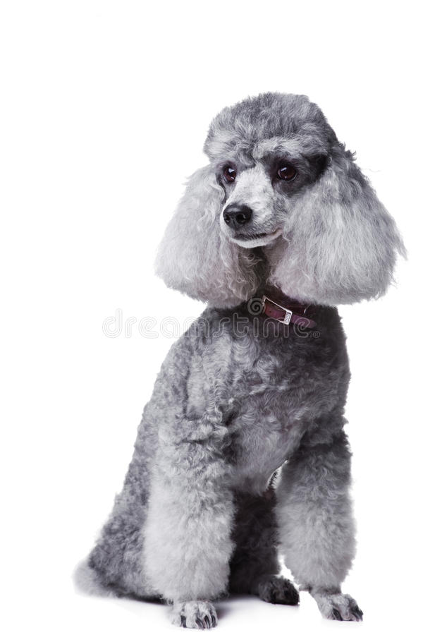 Gray poodle on isolated white background. Portrait of obedient small gray poodle with collar on isolated white background royalty free stock photo