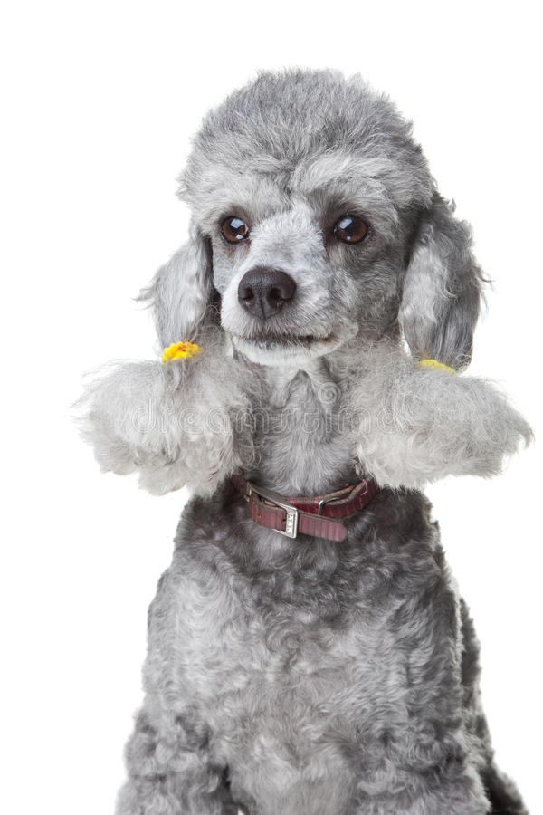 Download Gray Poodle With Leather Collar On Isolated White Stock Image - Image: 20188411