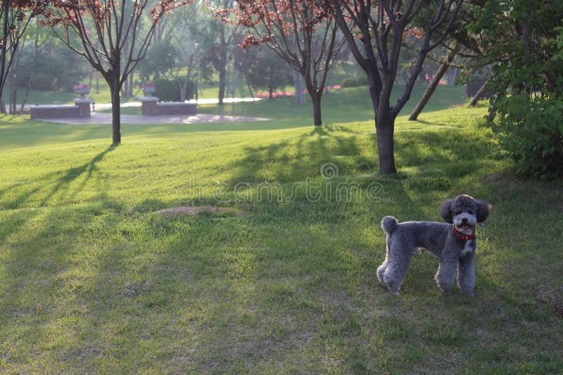 Gray Poodle. With modern haircut that walks in the park, spring in Dalian, China stock images