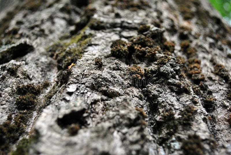 Gray poplar tree trunk with bark and green moss, close up detail, horizontal background. Texture stock photography