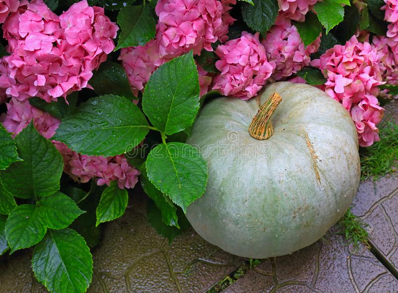 Gray pumpkin with pink hydrangea bush. Gray pumpkin with water drops on concrete path near a pink hortensia bush. Home grown organic squash. Background with copy royalty free stock photo