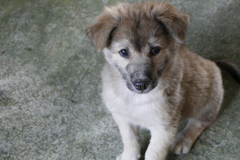 Gray Puppy Dog Sitting sulla terra immagine stock