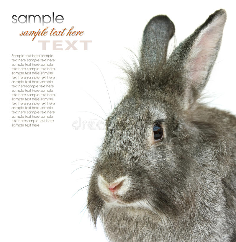 Download Gray rabbit stock image. Image of hare, farming, rabbits - 20093757