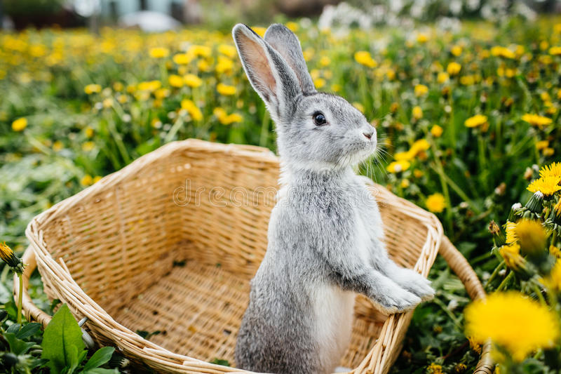 Gray rabbit in the garden royalty free stock photography