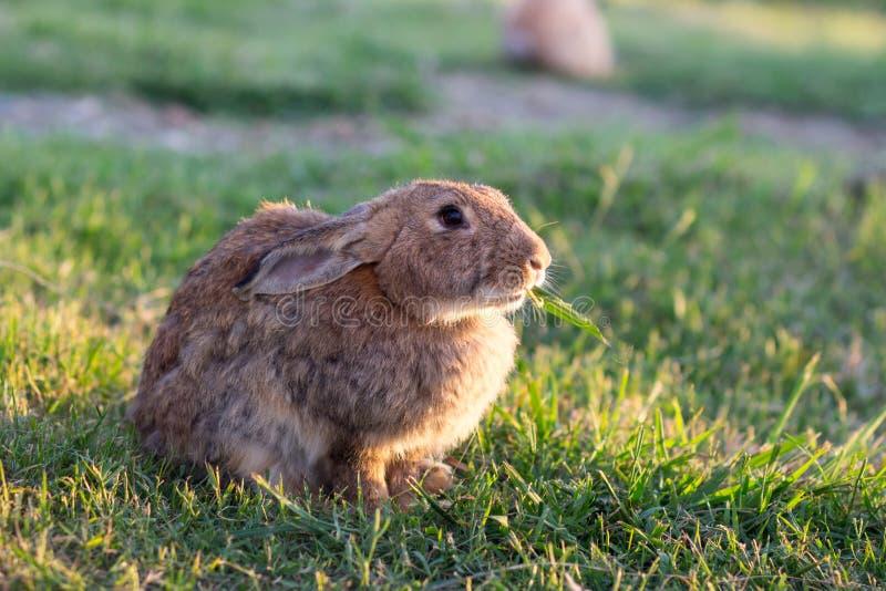Gray rabbit on grass. Gray rabbit on green grass