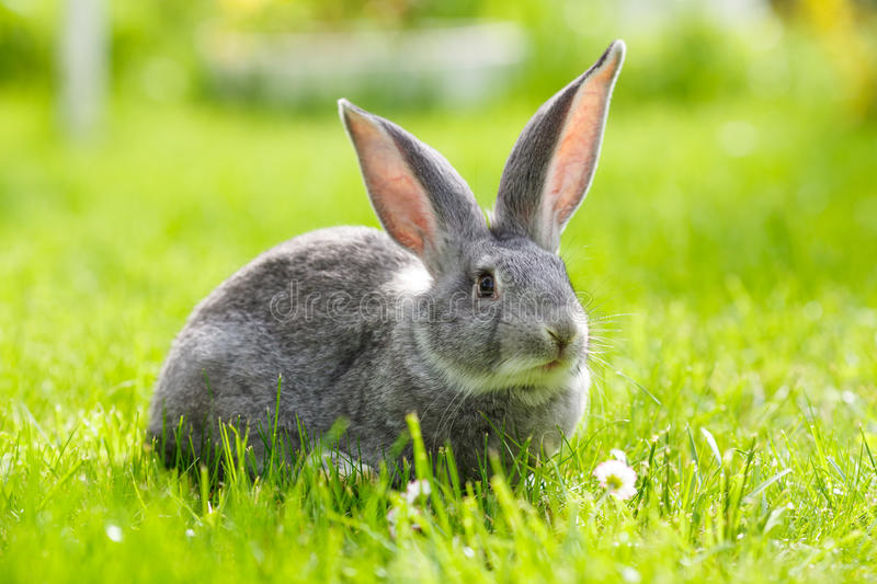 Gray rabbit in green grass royalty free stock image