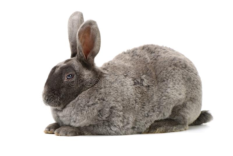 Gray rabbit sitting royalty free stock photography
