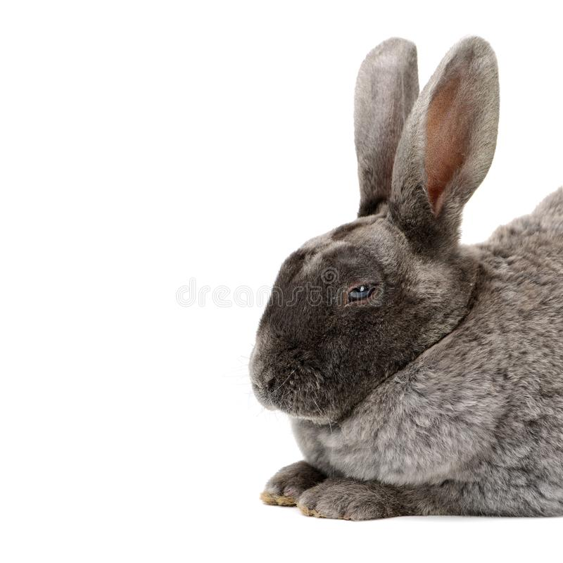 Gray rabbit sitting stock photography