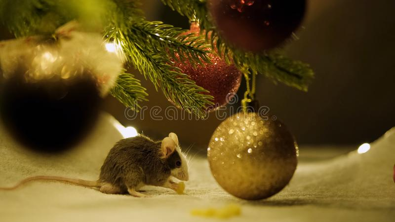 Gray rat eats sitting under a Christmas tree on the background of the scenery of the new year 2020. 4K stock photos