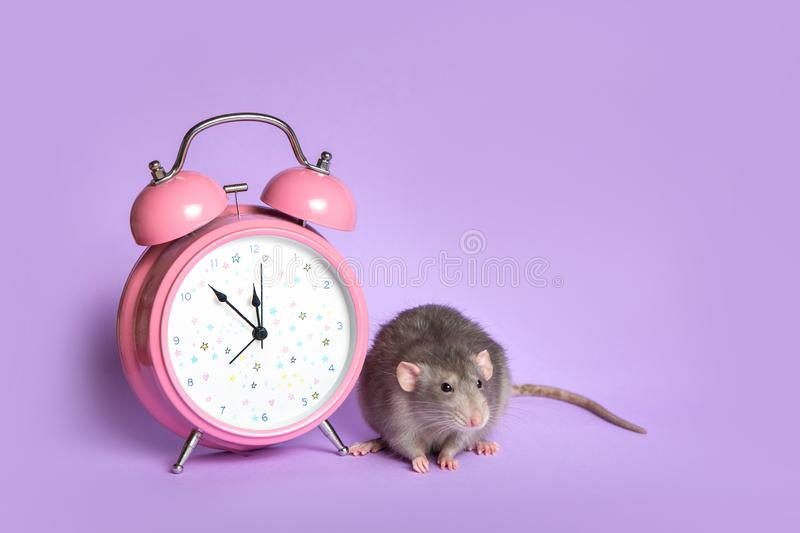 Gray rat next to the alarm clock on a lilac background. Charming pet. 11.53 pm Conceptual photo: the beginning of the rat's new. Charming pet. Gray rat stock photo
