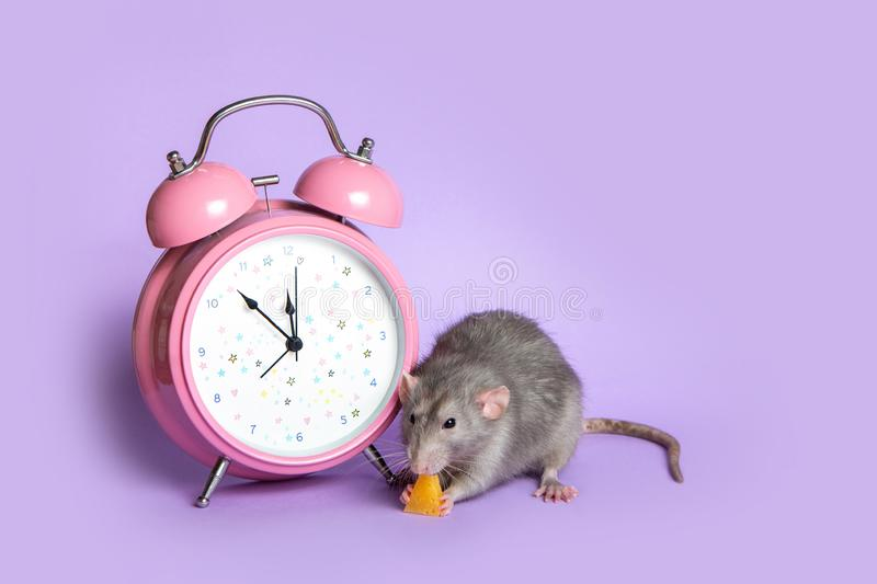 Gray rat next to the alarm clock on a lilac background. Charming pet. 11.53 pm. Conceptual photo: the beginning of the rat's new. Charming pet. Gray rat royalty free stock photography