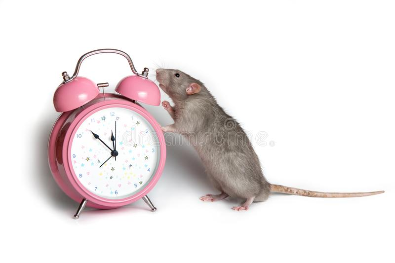 A gray rat next to an alarm clock on a white isolated background. 11.55 pm. Charming pet. Conceptual photo: the beginning of the. Charming pet. A gray rat next stock photography