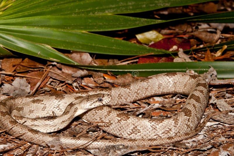 Gray Rat Snake fotografia stock