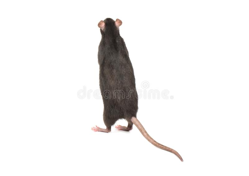 Rat stands on hind legs stock photos