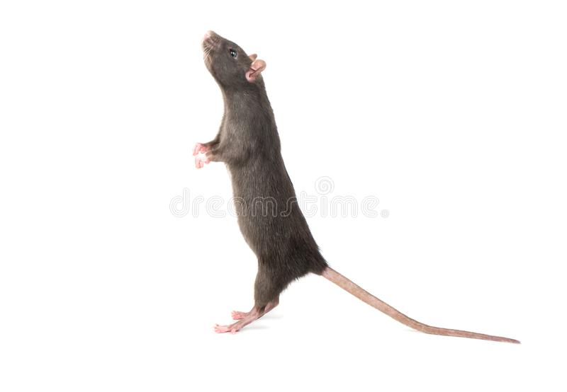 Rat stands on hind legs stock images