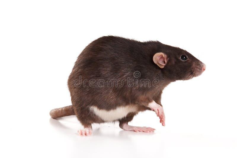 Gray rat washing royalty free stock image