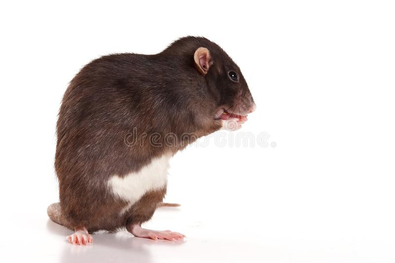 Gray rat washing isolated on white royalty free stock image