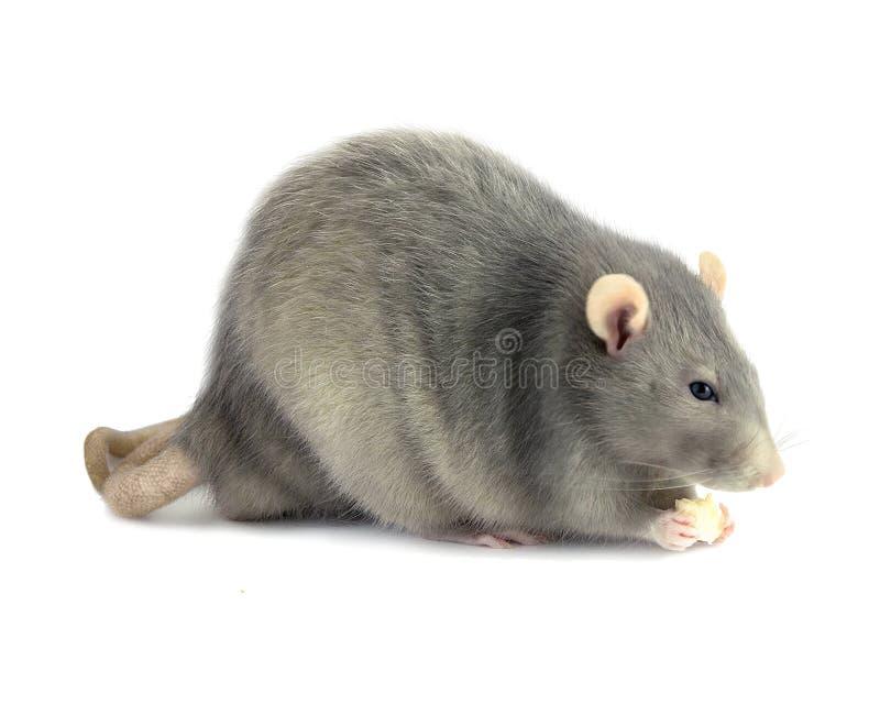 Gray Rat Stock Photos