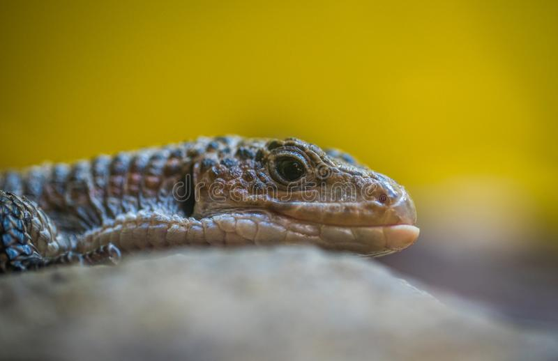 Gray Reptile Close-up Photography royalty free stock photo