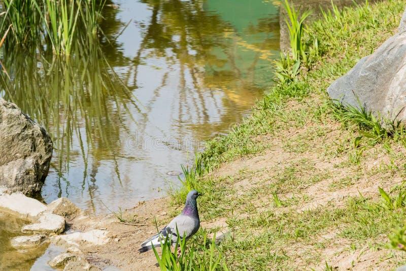 Gray rock pigeon standing near pond. Gray rock pigeon standing on ground near a small pond tall reeds royalty free stock image