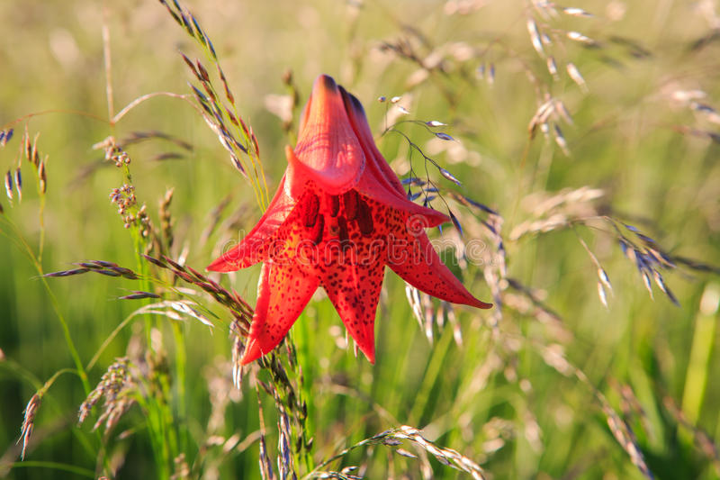 NC Gray's Lily Flower Sunlight Roan Mountain Grasses stock photo