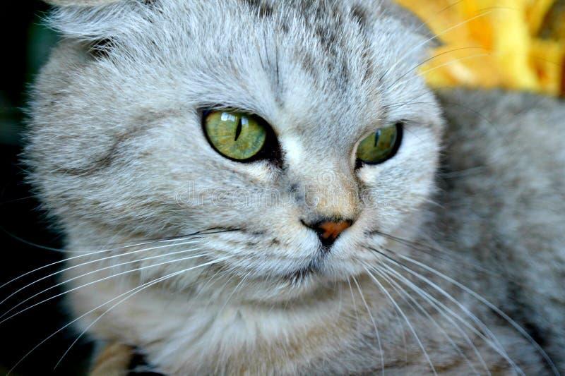 Gray Scottish fold cat, green eyes. Gray Scottish fold cat, muzzle of the animal in full screen royalty free stock photo