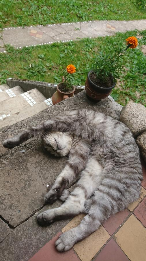 A gray tabby scottish fold cat lazy sleeping with raised paw on the porch with rocks and orange flowers in the background stock photography