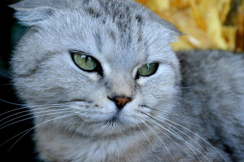 Gray Scottish fold cat, green eyes. Gray Scottish fold cat, muzzle of the animal in full screen royalty free stock image