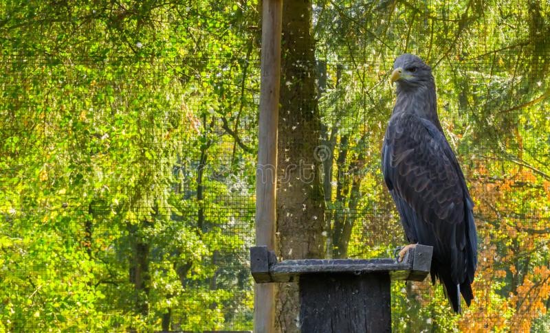 Gray sea eagle sitting on a wooden pole, a big bird of prey from Eurasia. A gray sea eagle sitting on a wooden pole, a big bird of prey from Eurasia royalty free stock photos