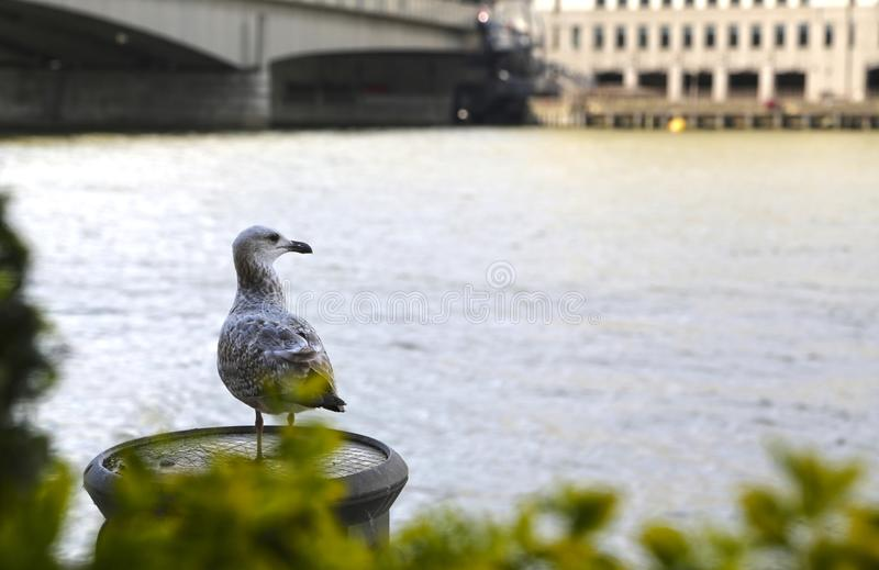 The gray seagull sitting on Thames Embankment. The gray seagull, belchers gull, larus belcheri, sitting on Thames Embankment against the background of the river stock photography