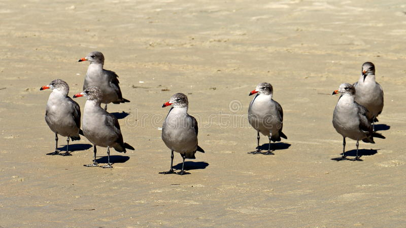 Gray Seagulls die op Strandzand Linker kijken royalty-vrije stock fotografie