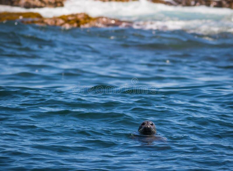 Gray Seal hace estallar su dirige hacia fuera en la bahía de Muscongus, Maine, en una tarde soleada imagen de archivo libre de regalías