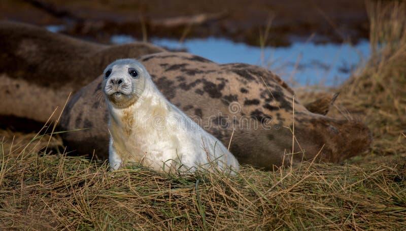 Gray Seal Pup stock foto