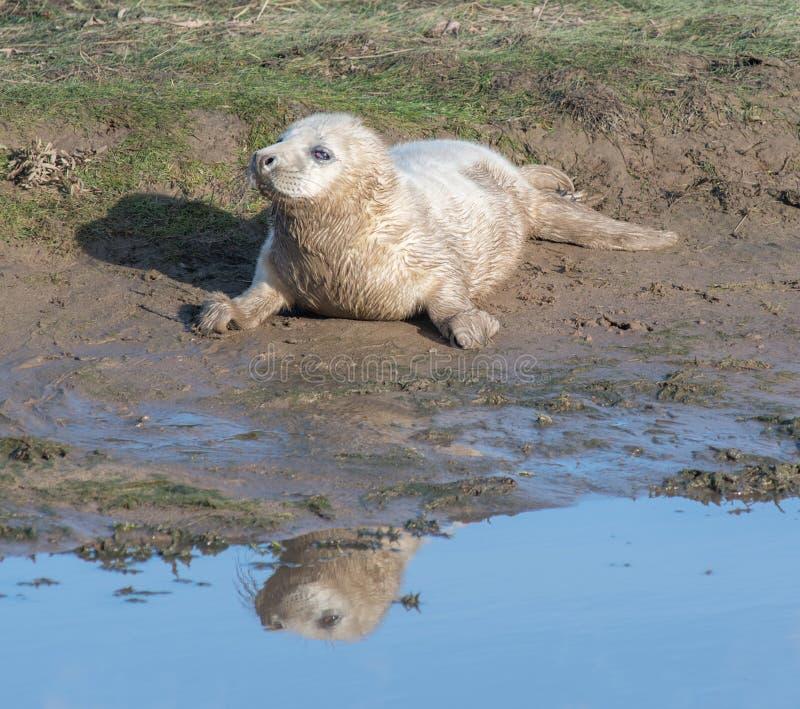 Gray Seal Pup stock afbeelding
