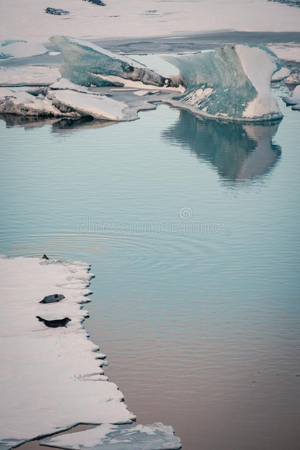Gray seals relaxing and lying on ice sheet, Iceland. Gray seals relaxing and lying on ice sheet in the glacial lagoon Jokulsarlon in Iceland stock photo